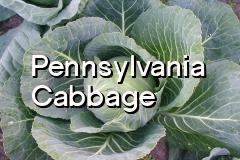 pa_cabbage